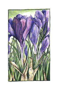 Crocus- Notecard by Cindy Gage Stotz